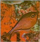 Re: Looking for Caribbean Tropical Fish the more colorful the better - glassy sweeper.jpg