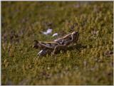 Re: req: insect pix - grasshopper.jpg