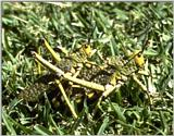 Re: req: insect pix - grasshoppers.jpg