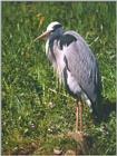 Birds from Holland - grey heron.jpg