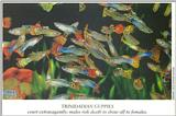 Scans from Scientific American - guppies.jpg