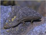 Lizards - Iberian Rock Lizard female 1.jpg