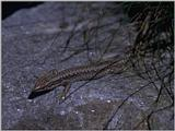 Lizards - Iberian Rock Lizard female 2.jpg