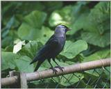 Birds from Holland - European Jackdaw - jackdaw.jpg