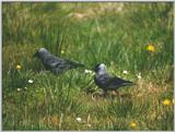 Birds from Holland - European Jackdaw - jackdaws.jpg