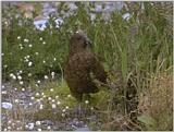 Re: i am looking for parrots - kea2.jpg