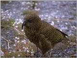 Re: i am looking for parrots - kea.jpg