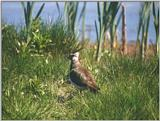 Birds from Holland - Northern Lapwing (Vanellus vanellus)