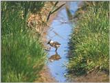 Birds from Holland - Northern Lapwing (Vanellus vanellus) chick
