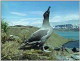 Light-mantled Sooty Albatross - lm sooty albatross 2.jpg
