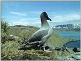 Light-mantled Sooty Albatross - lm sooty albatross 3.jpg