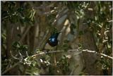 Animals from Madagascar - souimanga sunbird.jpg