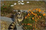 Animals from Madagascar - ringtailed lemur.jpg