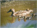 Birds from Holland - mallard and ducklings