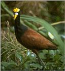 Birds from Europe and the rest of the world - Northern Jacana