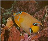 Re: Looking for Caribbean Tropical Fish the more colorful the better - queen angelfish.jpg
