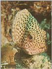 Re: Looking for Caribbean Tropical Fish the more colorful the better - grouper.jpg