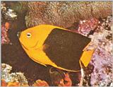 Re: Looking for Caribbean Tropical Fish the more colorful the better - rock beauty.jpg