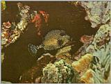 ... colorful the better - Smooth trunkfish (Lactophrys triqueter) - smooth trunkfish.jpg