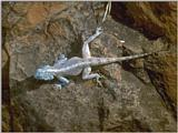 Lizards - Southern Rock Agama 1.jpg