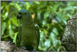 Re: i am looking for parrots - Yellow-naped Amazon Parrot (Amazona auropalliata)