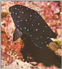 ...Re: Looking for Caribbean Tropical Fish the more colorful the better - yellowtailed damselfish.j
