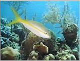Underwater Vidcaps - Yellowtailed Snapper.jpg