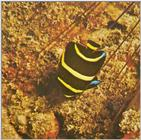 Re: Looking for Caribbean Tropical Fish the more colorful the better - young angelfish.jpg