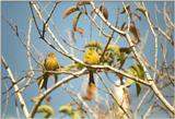 Animals from La Palma - canaries.jpg - Island Canary (Serinus canaria)