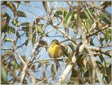 Animals from La Palma - canary3.jpg - Island Canary