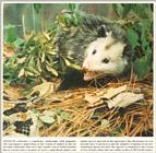 Request for Opossum - Virginia opossum with rattlesnake