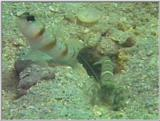 Re: S. Goby or Mudskipper pictures - Goby 2