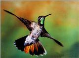 Magnificent 03 Hummingbird.JPG - Magnificent Hummingbird (Eugenes fulgens)