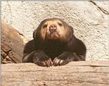 Frankfurt Zoo - Malayan Sun Bear head studies - I have got more of these