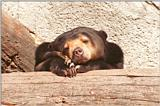 Frankfurt Zoo - Malayan Sun Bear head studies - #2 of several :-)