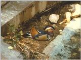Mandarin Duck? sleeping
