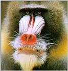 Mandrill Baboon J01-Face Closeup.jpg