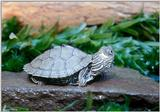 Juvenile Map turtle (Graptemys geographica) 1