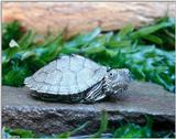 Juvenile Map turtle (Graptemys geographica) 3