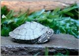 Juvenile Map turtle (Graptemys geographica) 4