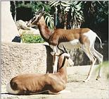 Animal pictures from my trip to California - Antelopes in San Diego Zoo - Mhorr gazelle (Dama Ga...