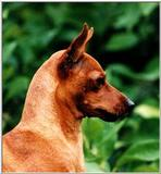 Posting dogs - miniatyr pinscher.jpg (Miniature Pinscher)