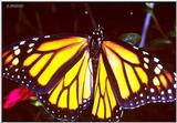 Monarch butterfly - Monarch1a.jpg