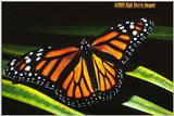 Another Monarch Butterfly - Monarch2.jpg