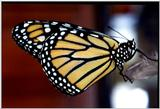 Monarch Butterfly File 2 of 2 - monarch butterfly (Danaus plexippus) - Monarch4.jpg