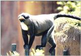 Re: Misc animals from the San Diego Zoo - Random african monkey
