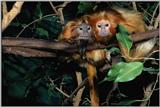 Monkies - Golden Lion Tamarins