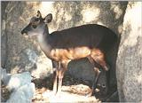California souvenirs continued after scanner recalibration - Muntjac in SD Zoo