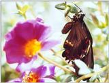 Pipevine SwallowTailFile 1 of 1 - NBSwallowTail.jpg (0/1)