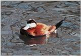 ...Birds see filename for species  [4/6] - North American Ruddy Duck (Oxyura jamaicensis jamaicensi
